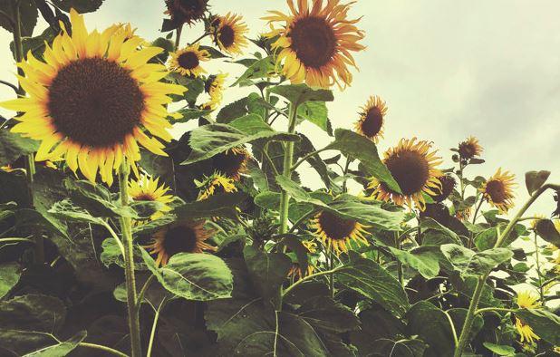 Sonnenblumen in Garching pflanzen? Warum nicht!
